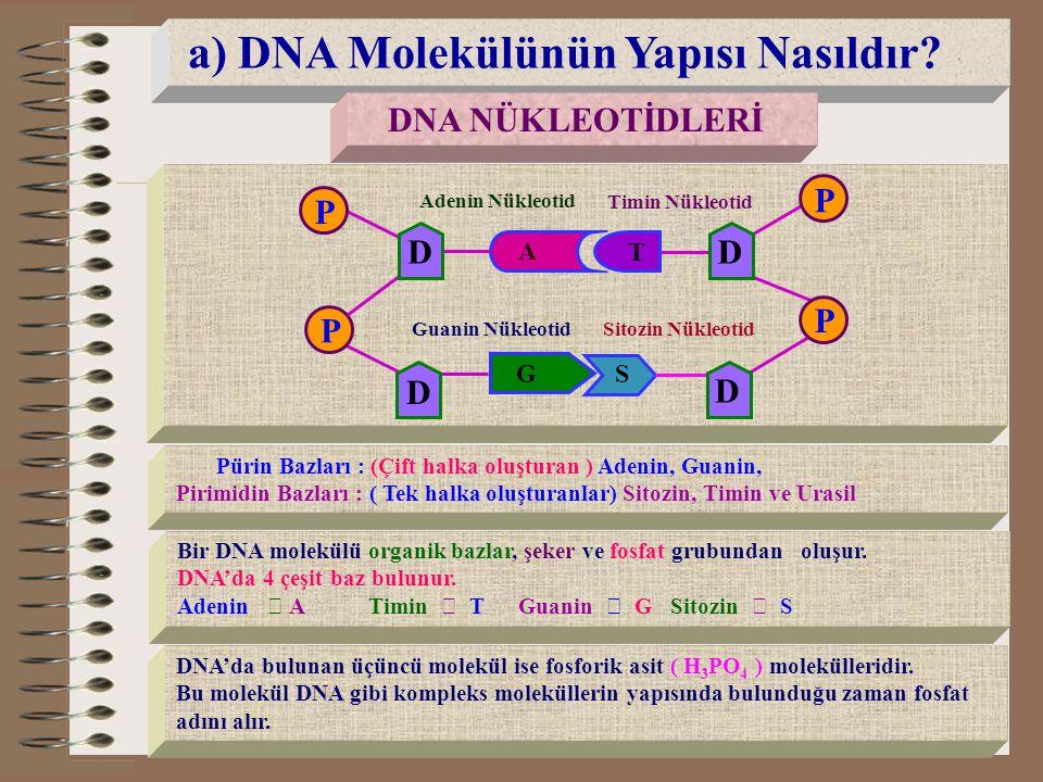 P P P P a) DNA Molekülünün Yapısı Nasıldır D D D D DNA NÜKLEOTİDLERİ