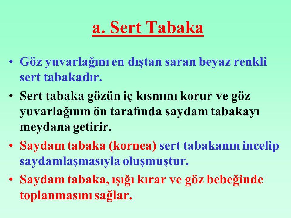 a. Sert Tabaka Göz yuvarlağını en dıştan saran beyaz renkli sert tabakadır.