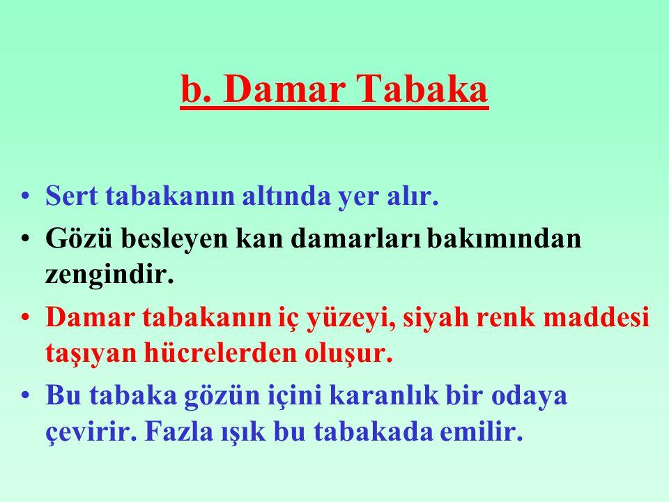 b. Damar Tabaka Sert tabakanın altında yer alır.