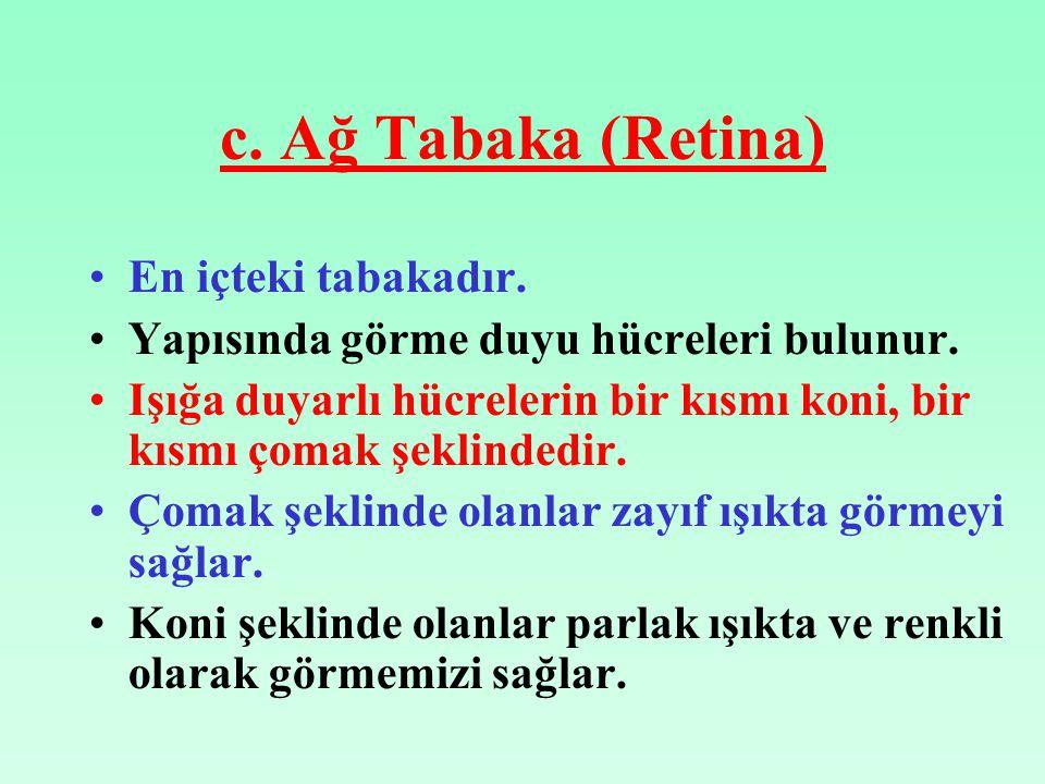 c. Ağ Tabaka (Retina) En içteki tabakadır.