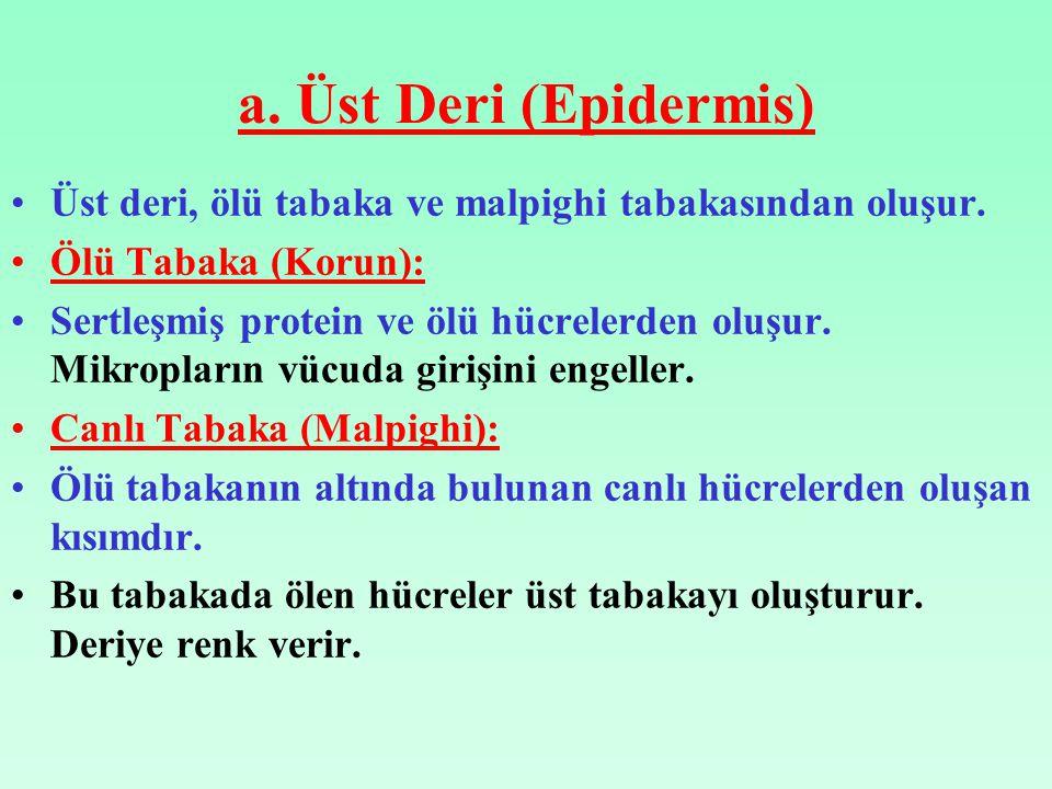 a. Üst Deri (Epidermis) Üst deri, ölü tabaka ve malpighi tabakasından oluşur. Ölü Tabaka (Korun):