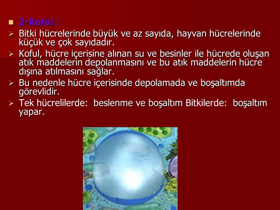 2-Koful : Bitki hücrelerinde büyük ve az sayıda, hayvan hücrelerinde küçük ve çok sayıdadır.