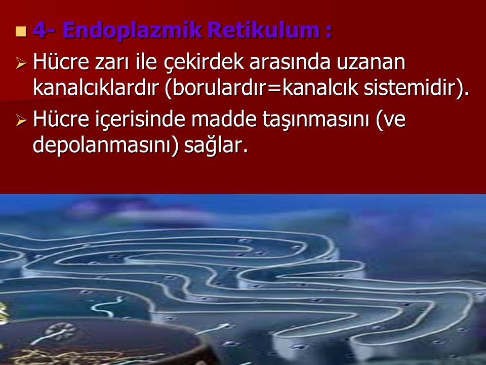 4- Endoplazmik Retikulum :