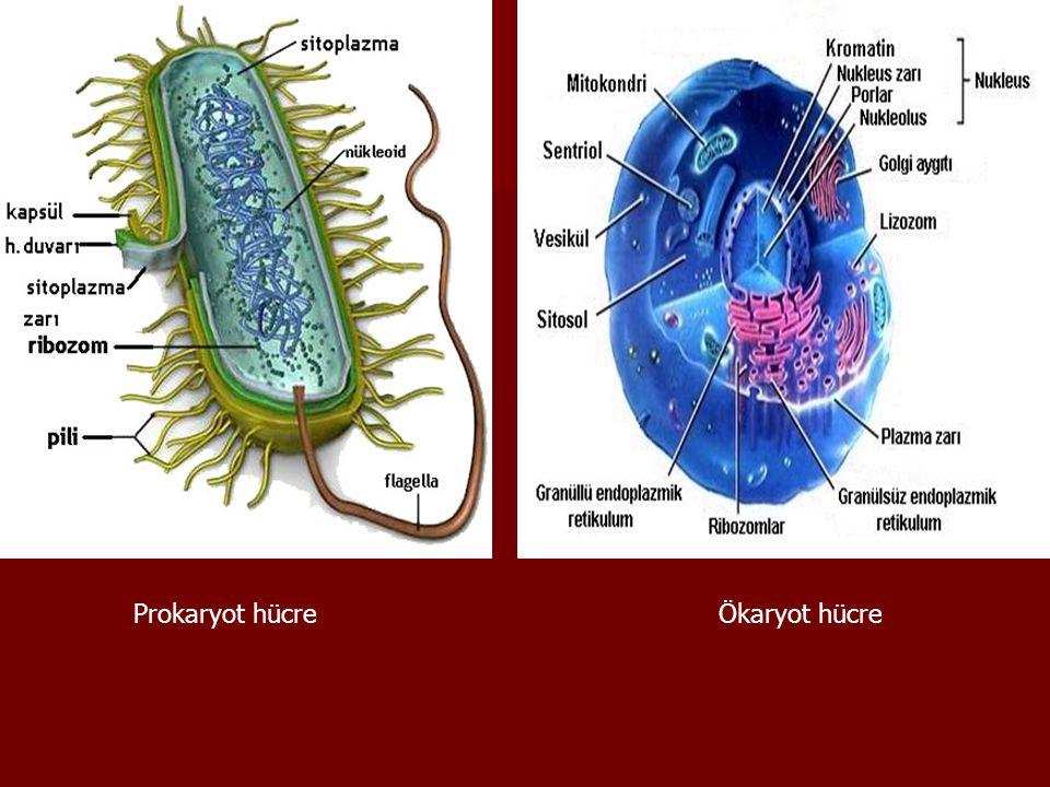 Prokaryot hücre Ökaryot hücre