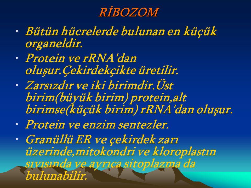 RİBOZOM Bütün hücrelerde bulunan en küçük organeldir. Protein ve rRNA dan oluşur.Çekirdekçikte üretilir.