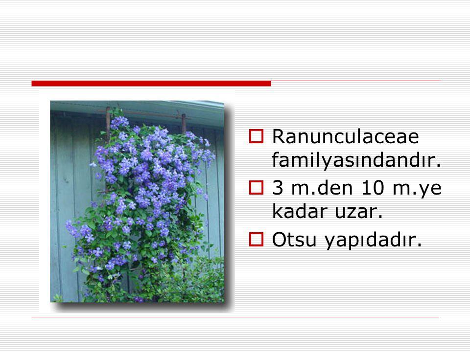 Ranunculaceae familyasındandır.