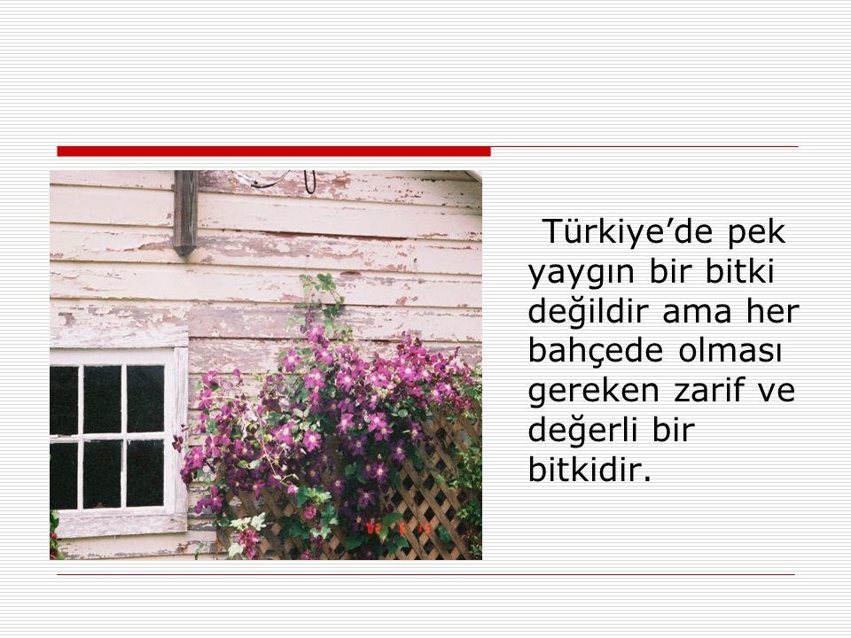 Türkiye'de pek yaygın bir bitki değildir ama her bahçede olması gereken zarif ve değerli bir bitkidir.