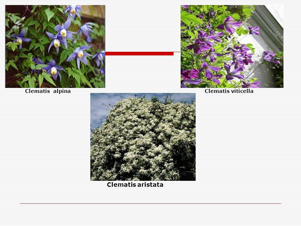 Clematis alpina Clematis viticella
