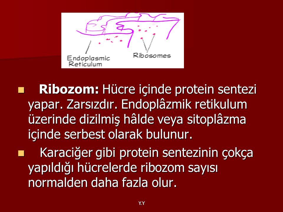 Ribozom: Hücre içinde protein sentezi yapar. Zarsızdır