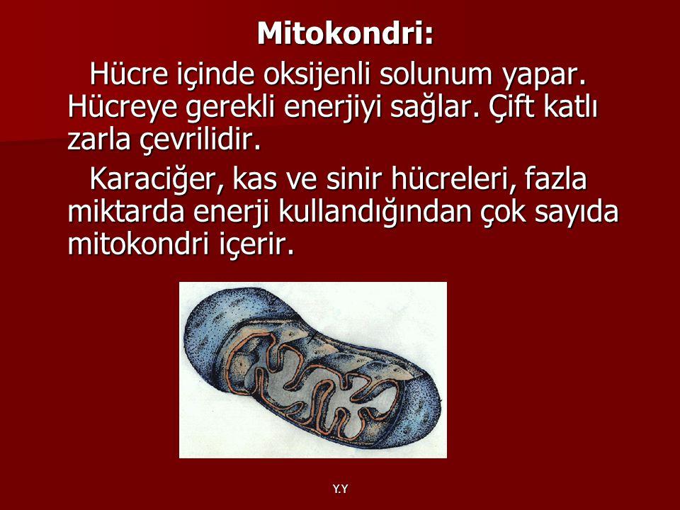 Mitokondri: Hücre içinde oksijenli solunum yapar. Hücreye gerekli enerjiyi sağlar. Çift katlı zarla çevrilidir.