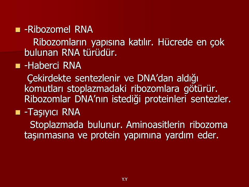 Ribozomların yapısına katılır. Hücrede en çok bulunan RNA türüdür.