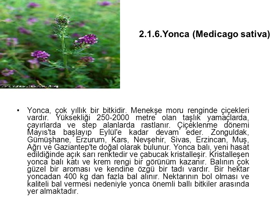 2.1.6.Yonca (Medicago sativa)