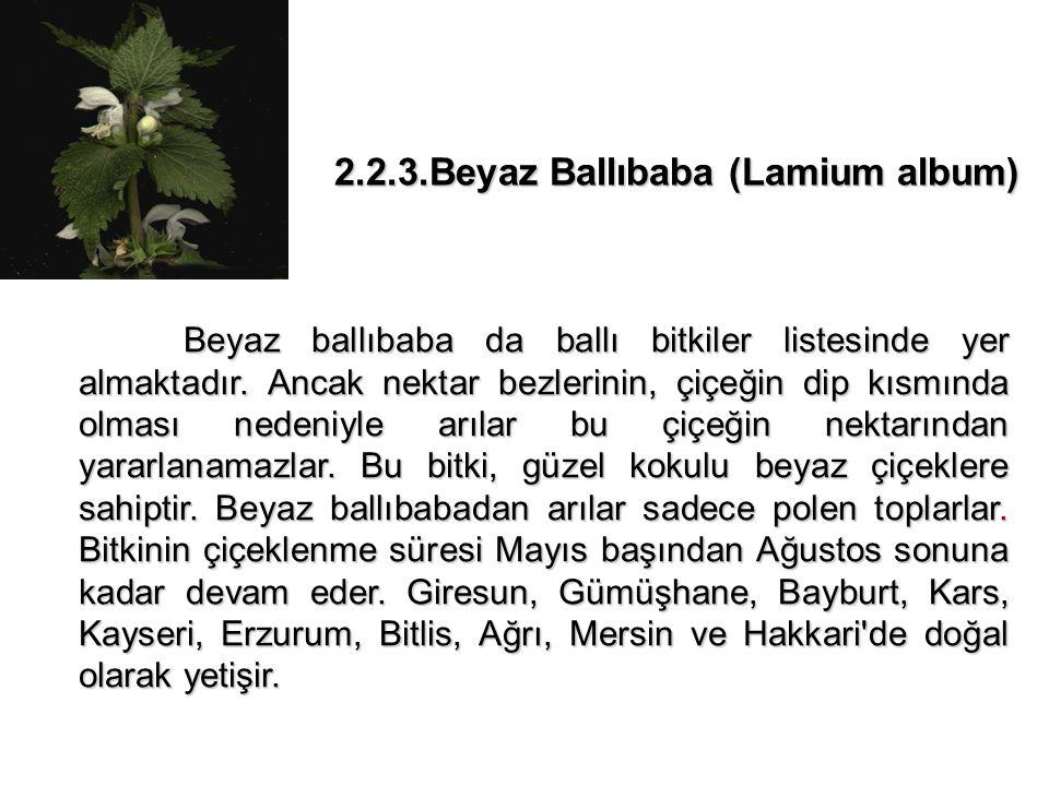 2.2.3.Beyaz Ballıbaba (Lamium album)