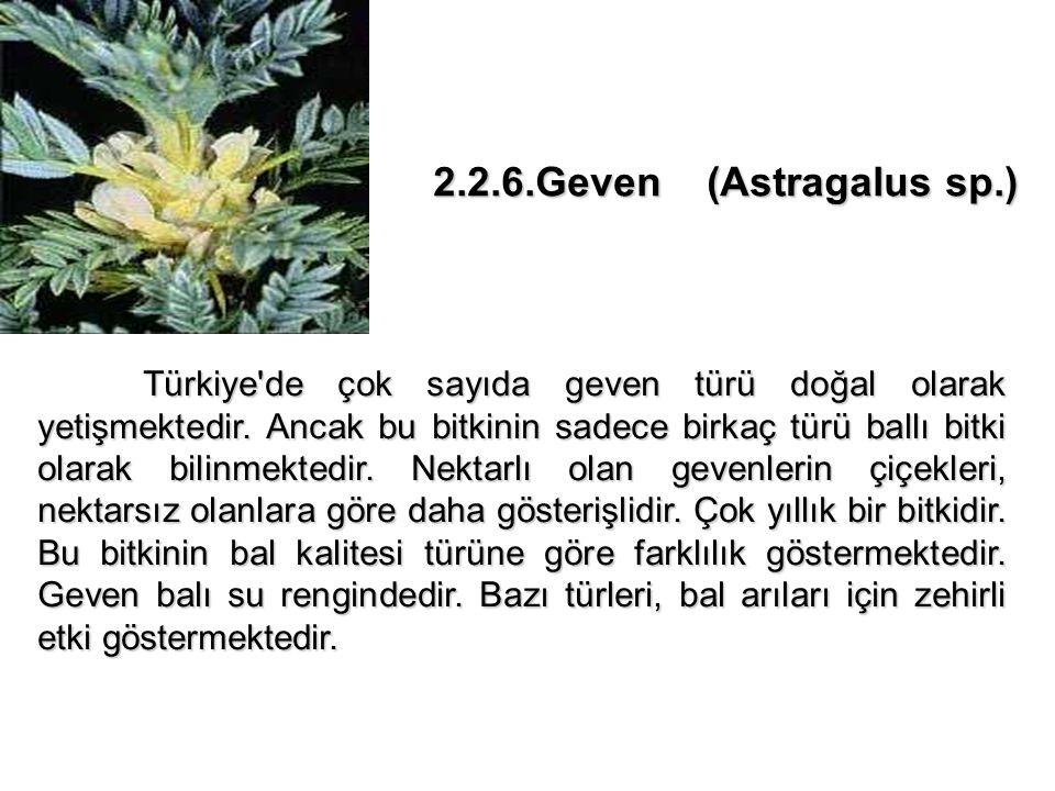2.2.6.Geven (Astragalus sp.)