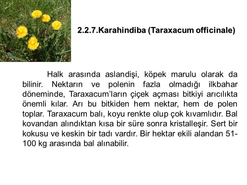 2.2.7.Karahindiba (Taraxacum officinale)