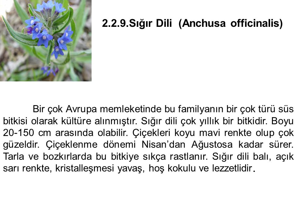 2.2.9.Sığır Dili (Anchusa officinalis)