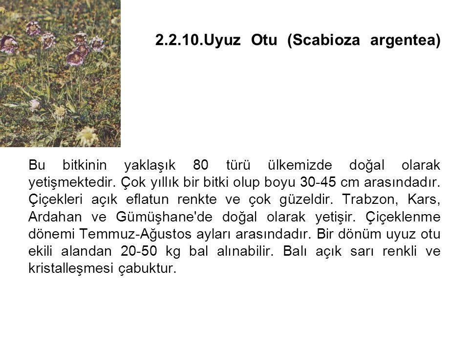 2. 2. 10. Uyuz Otu (Scabioza argentea)