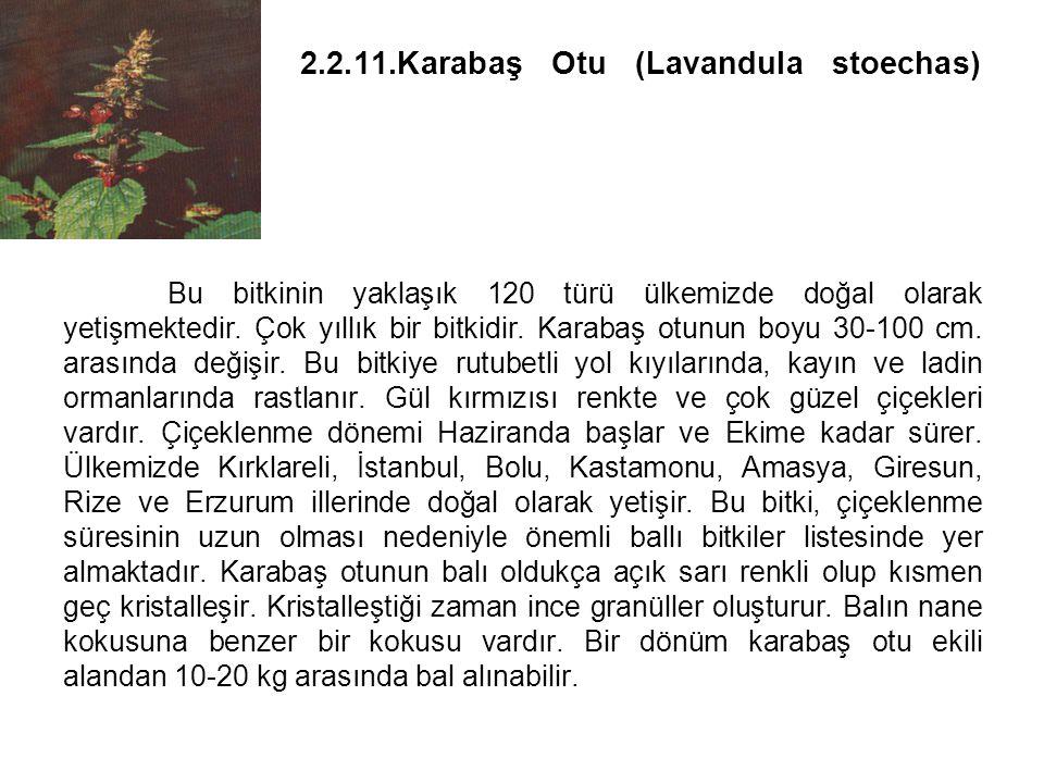 2. 2. 11. Karabaş Otu (Lavandula stoechas)