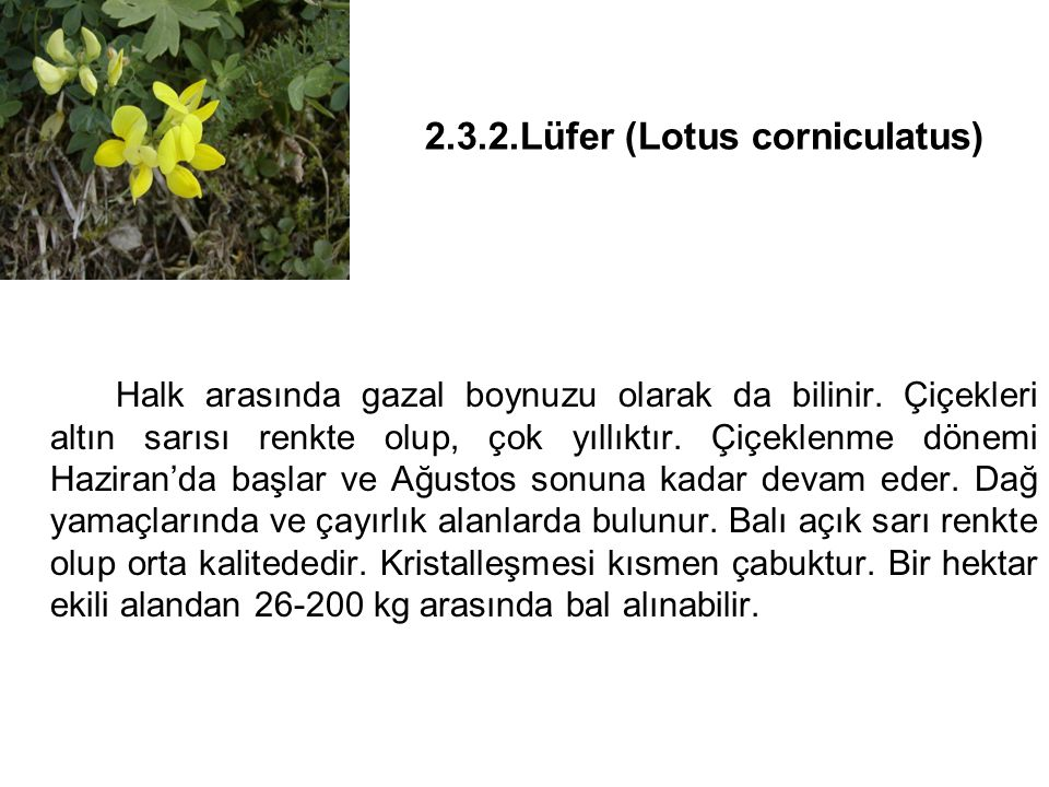 2.3.2.Lüfer (Lotus corniculatus)