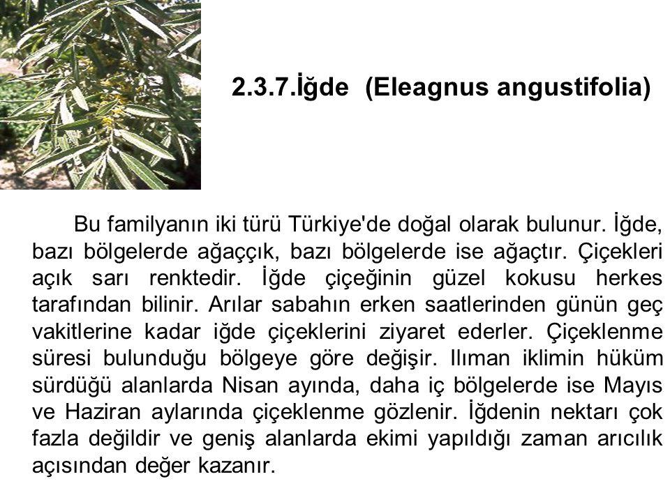 2.3.7.İğde (Eleagnus angustifolia)