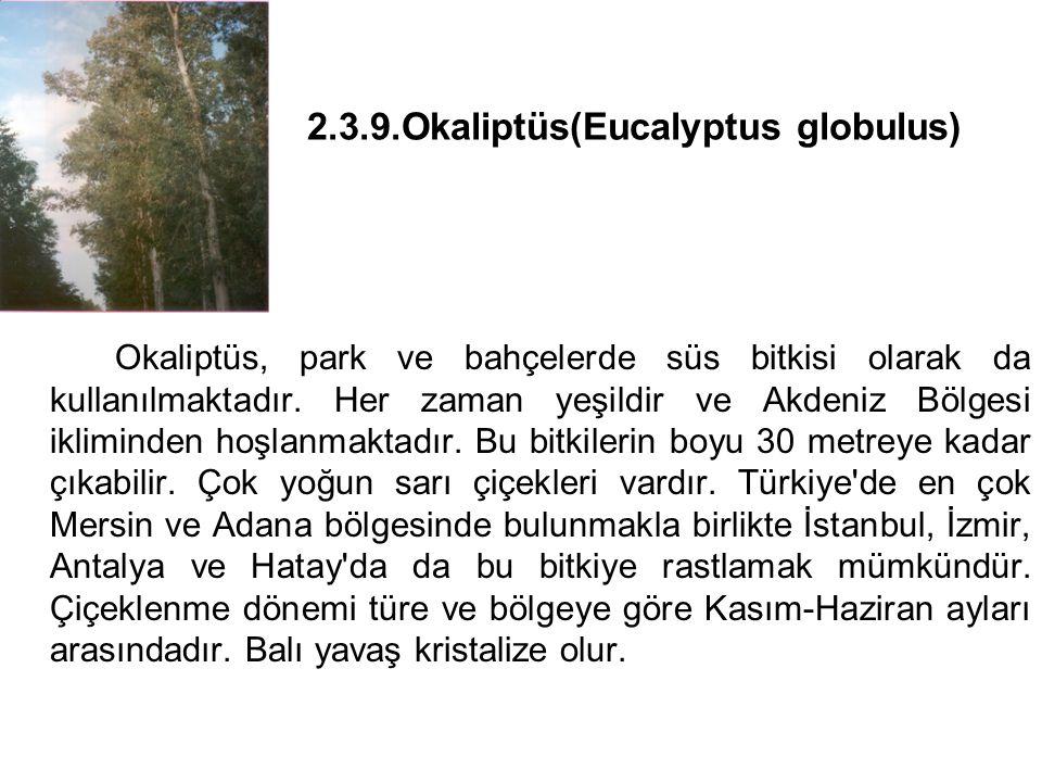 2.3.9.Okaliptüs(Eucalyptus globulus)