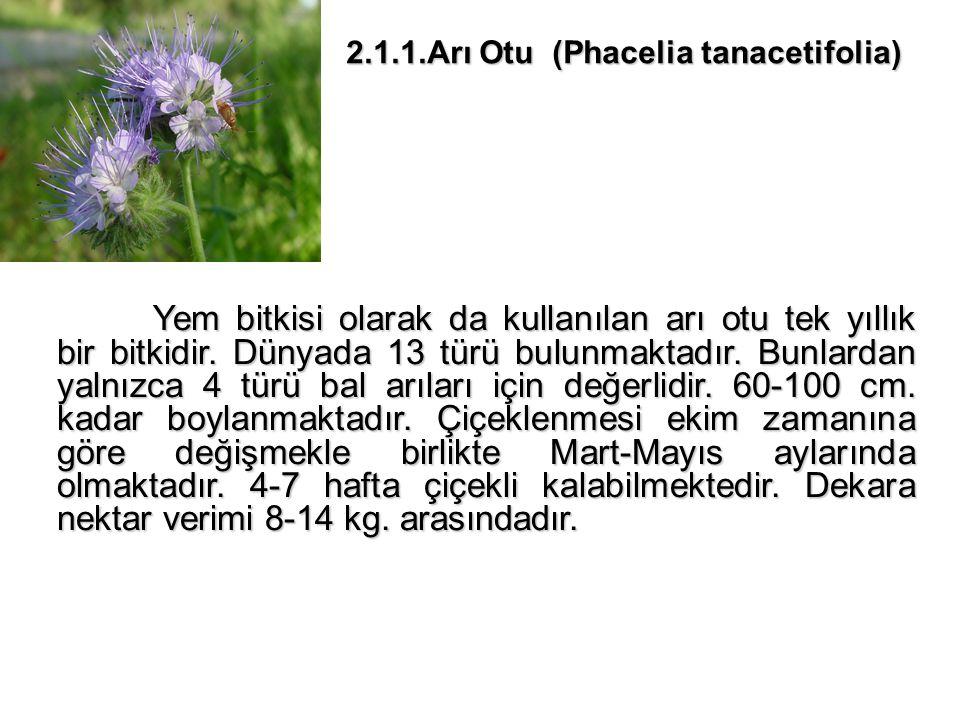 2.1.1.Arı Otu (Phacelia tanacetifolia)