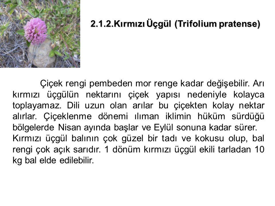 2.1.2.Kırmızı Üçgül (Trifolium pratense)