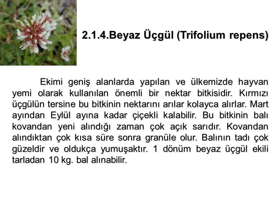 2.1.4.Beyaz Üçgül (Trifolium repens)