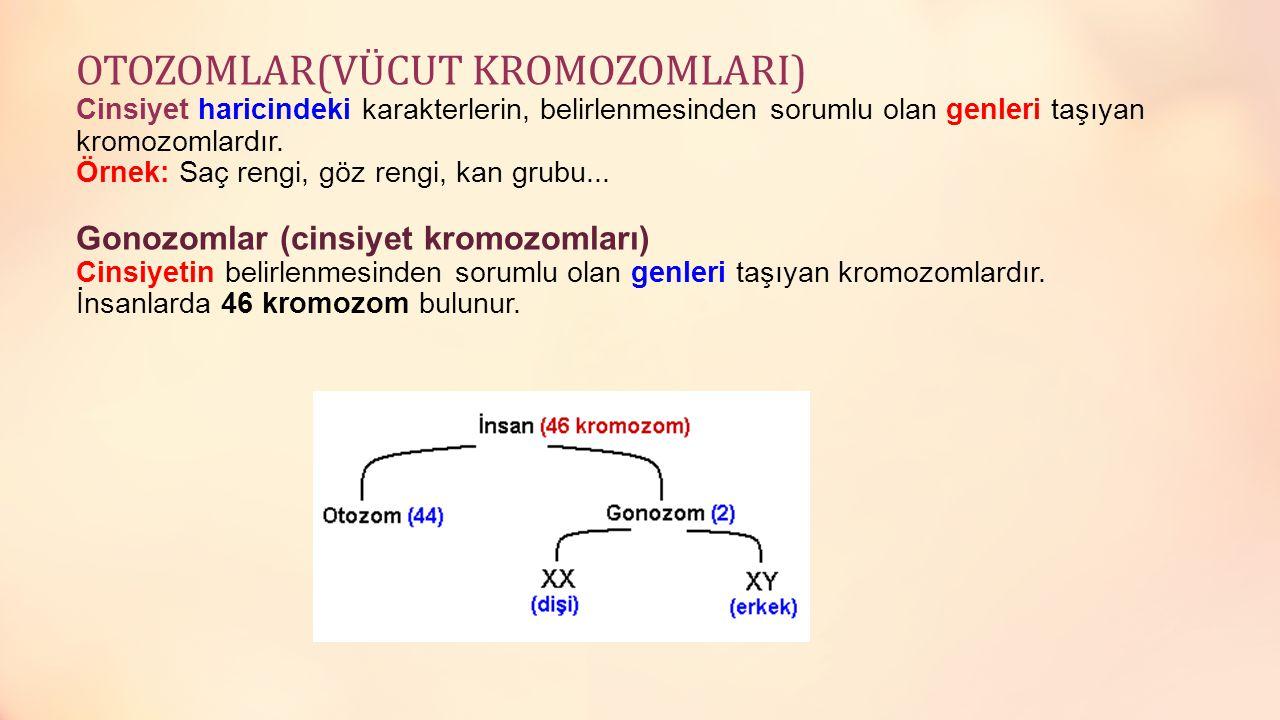 OTOZOMLAR(VÜCUT KROMOZOMLARI) Cinsiyet haricindeki karakterlerin, belirlenmesinden sorumlu olan genleri taşıyan kromozomlardır.