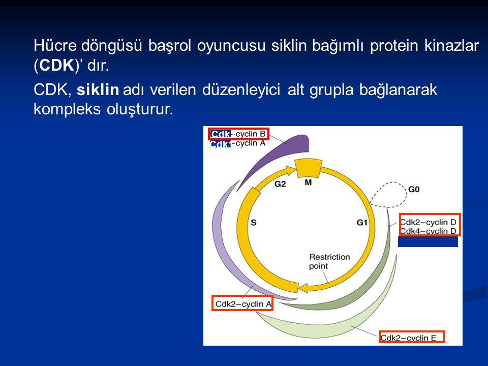 Hücre döngüsü başrol oyuncusu siklin bağımlı protein kinazlar (CDK)' dır.