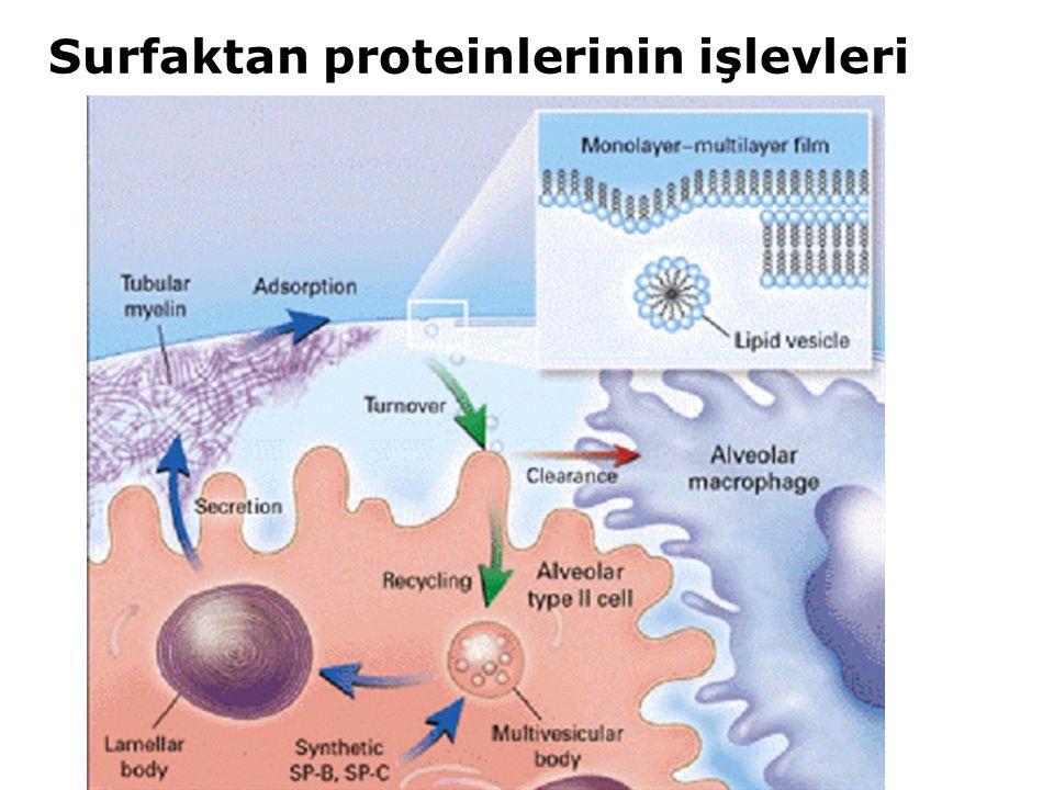 Surfaktan proteinlerinin işlevleri