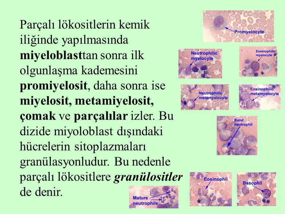 Parçalı lökositlerin kemik iliğinde yapılmasında miyeloblasttan sonra ilk olgunlaşma kademesini promiyelosit, daha sonra ise miyelosit, metamiyelosit, çomak ve parçalılar izler.