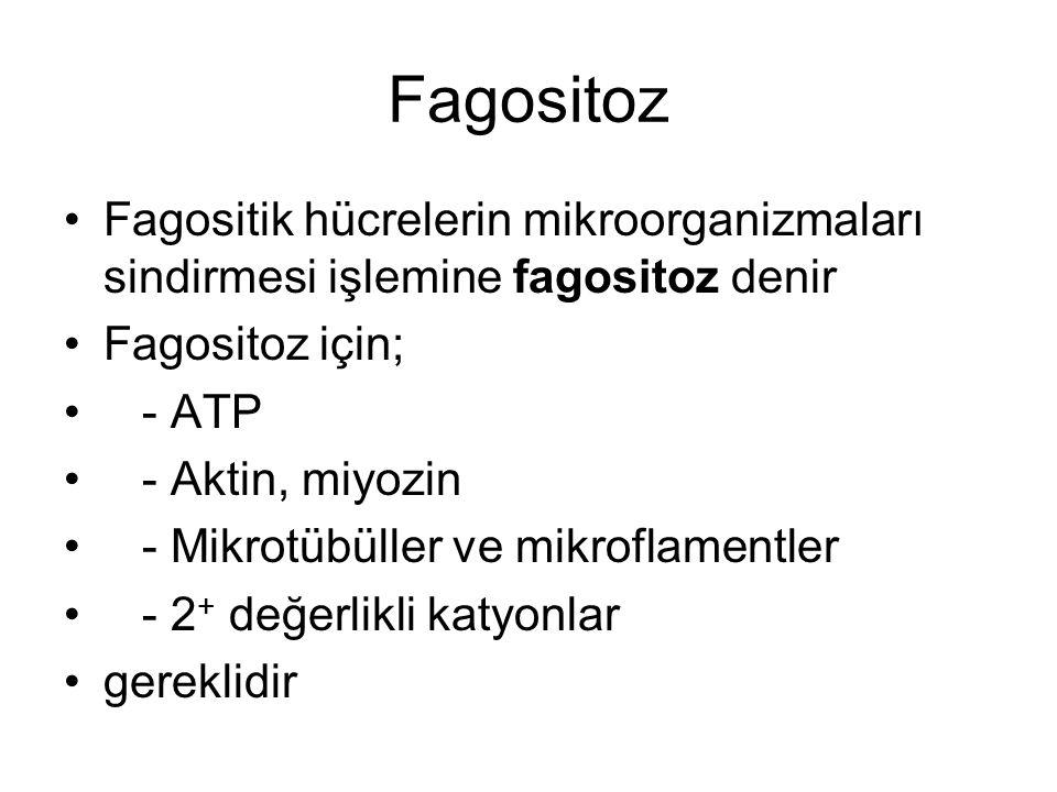 Fagositoz Fagositik hücrelerin mikroorganizmaları sindirmesi işlemine fagositoz denir. Fagositoz için;