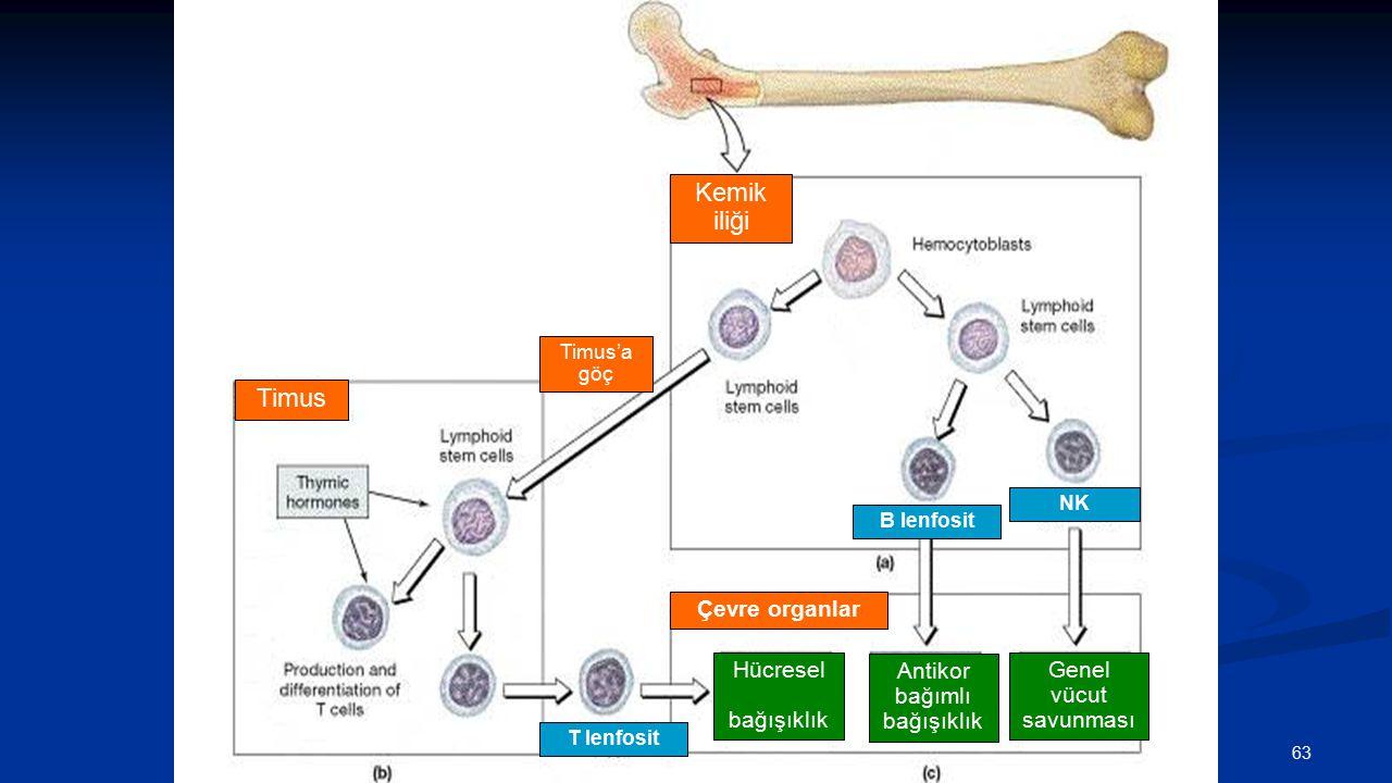Kemik iliği Timus Çevre organlar Hücresel bağışıklık Antikor bağımlı