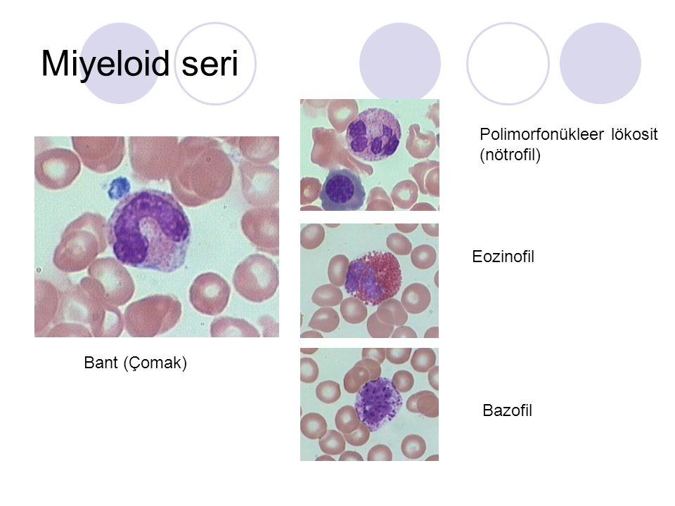 Miyeloid seri Polimorfonükleer lökosit (nötrofil) Eozinofil