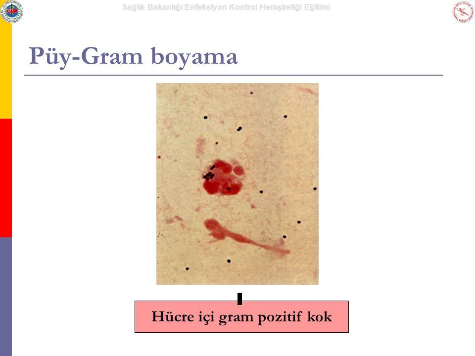 Hücre içi gram pozitif kok