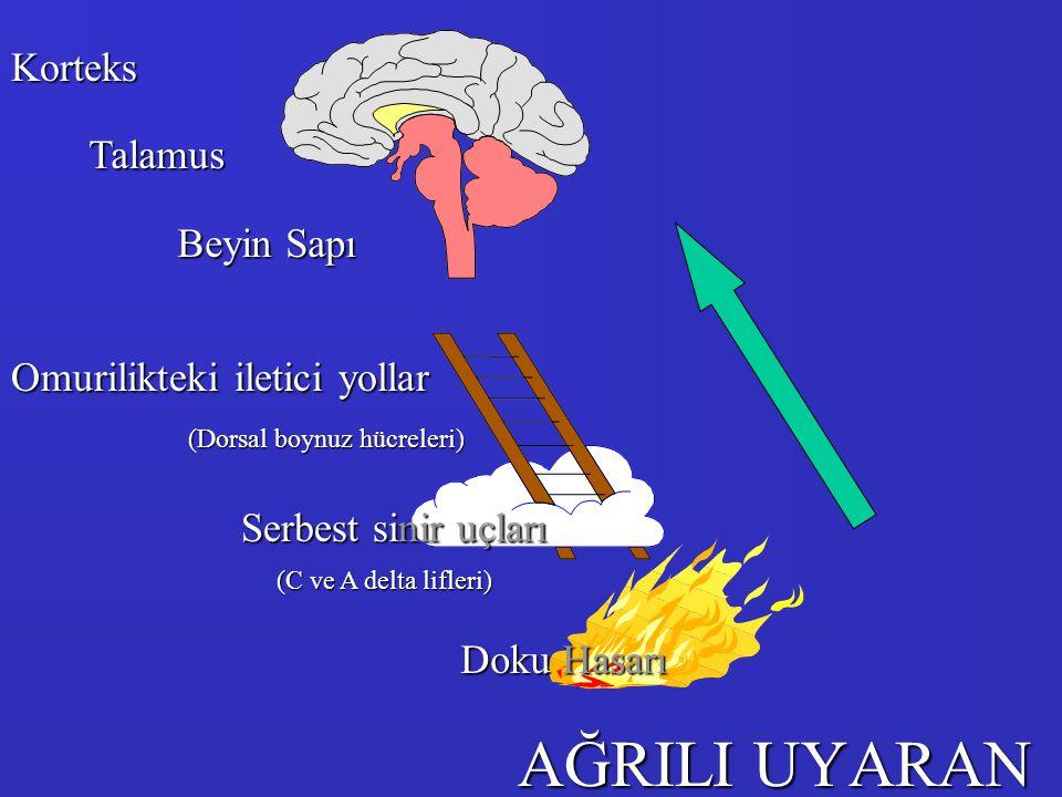 AĞRILI UYARAN Korteks Talamus Beyin Sapı Omurilikteki iletici yollar