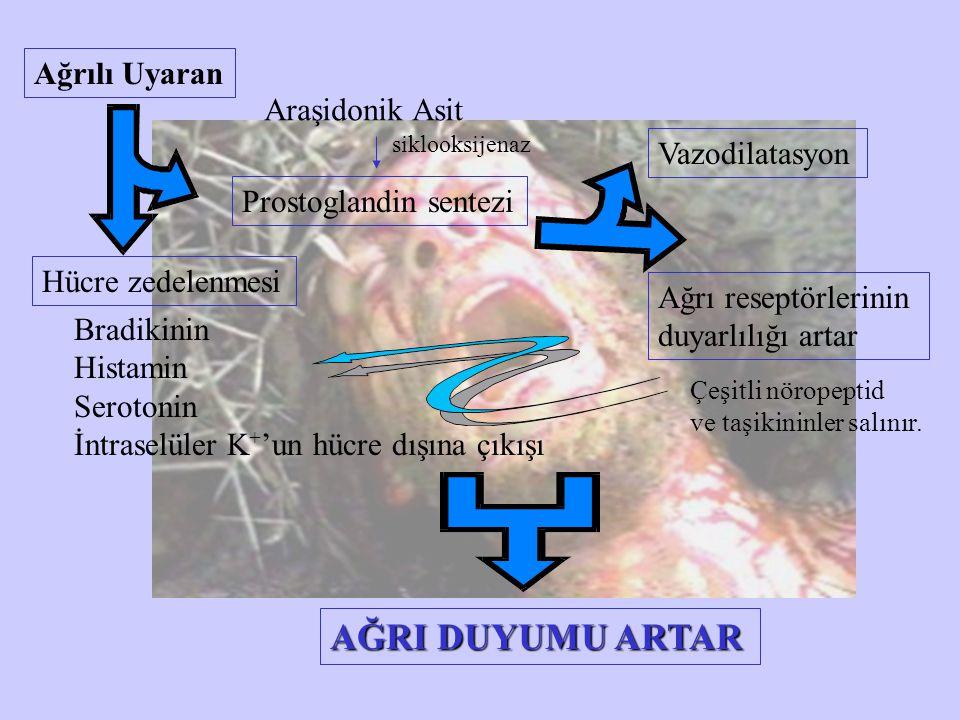 AĞRI DUYUMU ARTAR Ağrılı Uyaran Araşidonik Asit Vazodilatasyon
