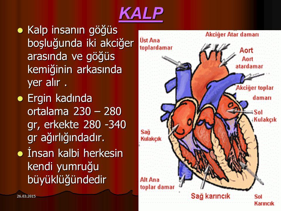 KALP Kalp insanın göğüs boşluğunda iki akciğer arasında ve göğüs kemiğinin arkasında yer alır .