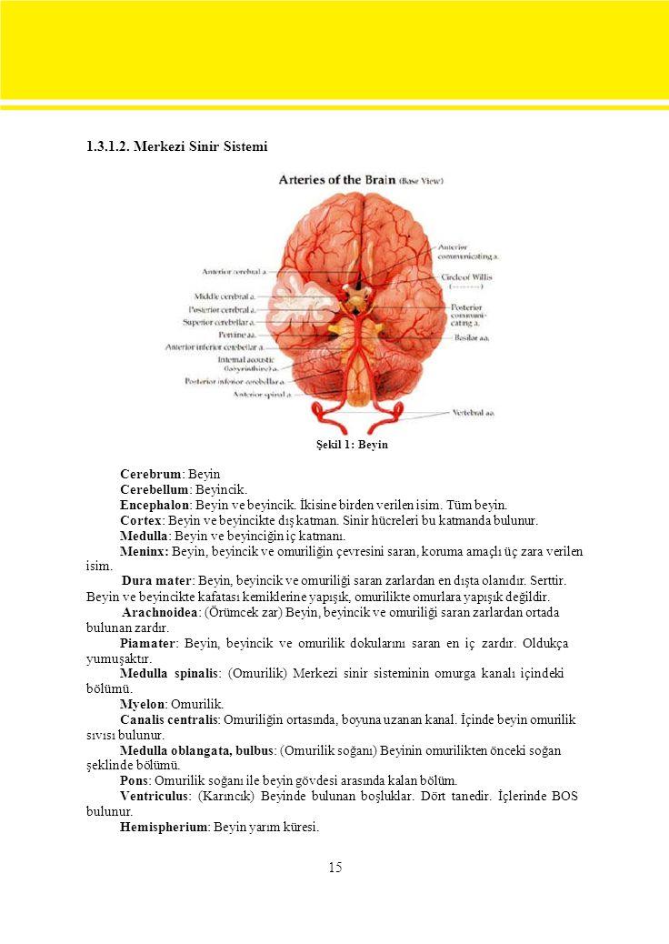 1.3.1.2. Merkezi Sinir Sistemi Şekil 1: Beyin. Cerebrum: Beyin. Cerebellum: Beyincik.