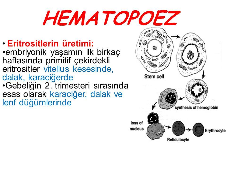 HEMATOPOEZ Eritrositlerin üretimi:
