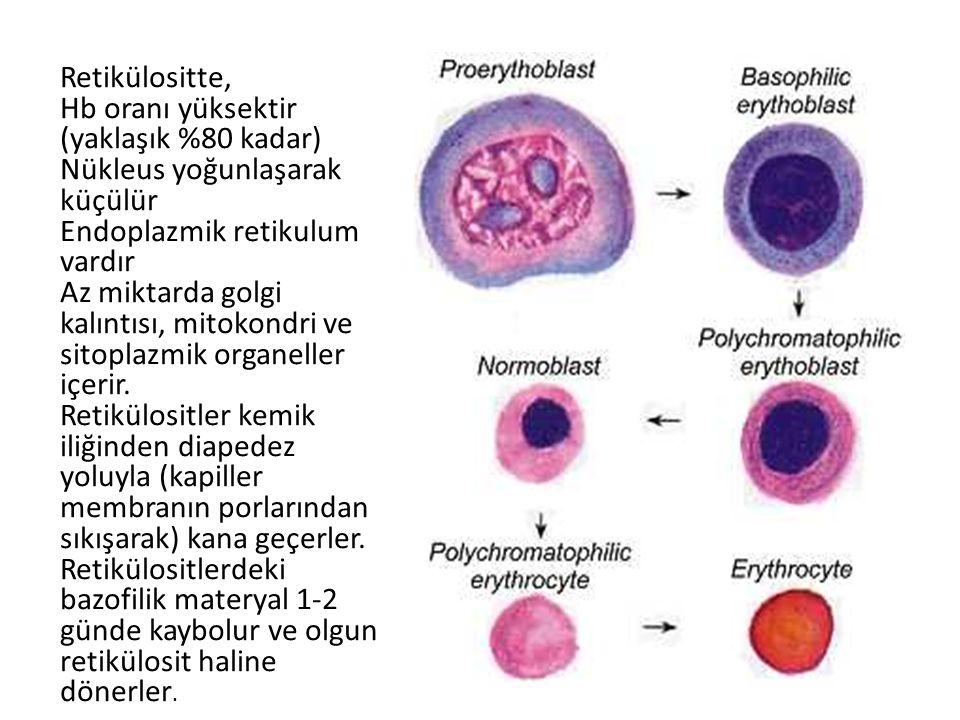 Retikülositte, Hb oranı yüksektir (yaklaşık %80 kadar) Nükleus yoğunlaşarak küçülür. Endoplazmik retikulum vardır.