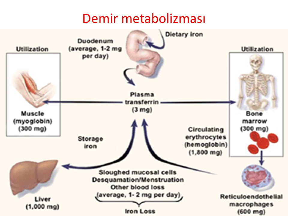 Demir metabolizması