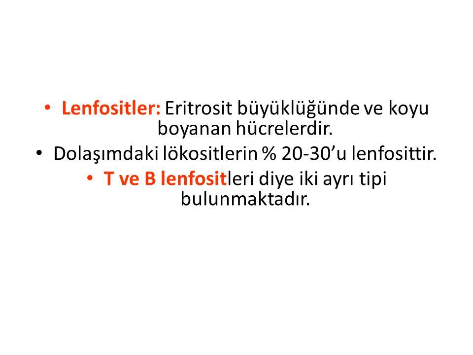 Lenfositler: Eritrosit büyüklüğünde ve koyu boyanan hücrelerdir.