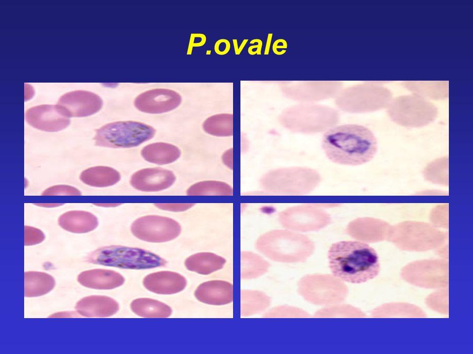 P.ovale