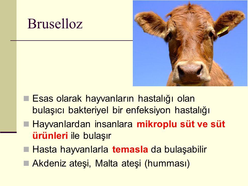 Bruselloz Esas olarak hayvanların hastalığı olan bulaşıcı bakteriyel bir enfeksiyon hastalığı.