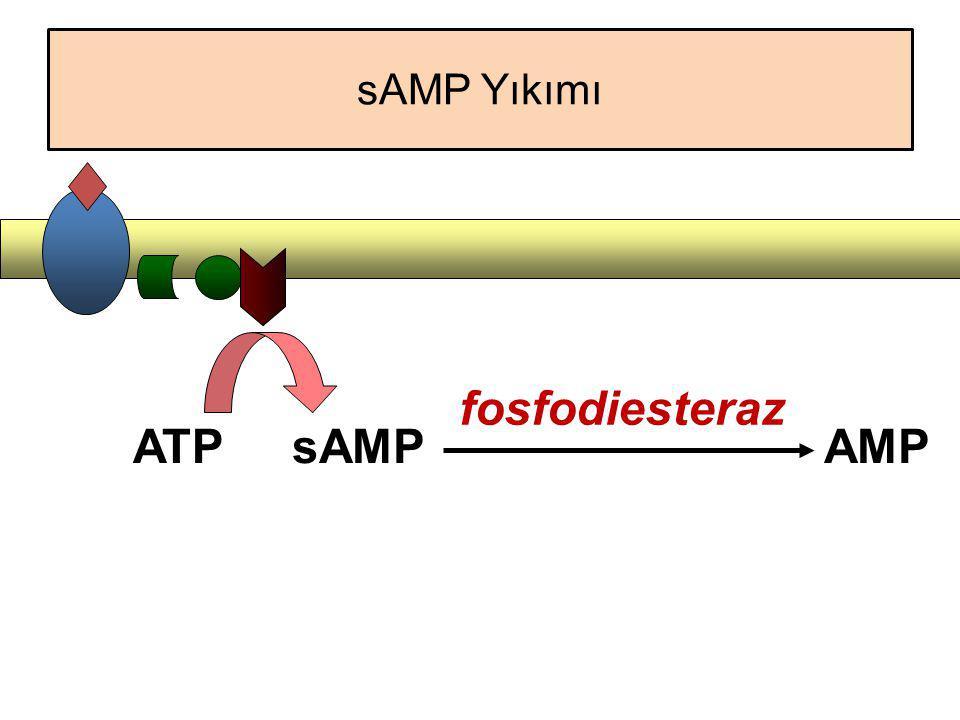 sAMP Yıkımı fosfodiesteraz ATP sAMP AMP