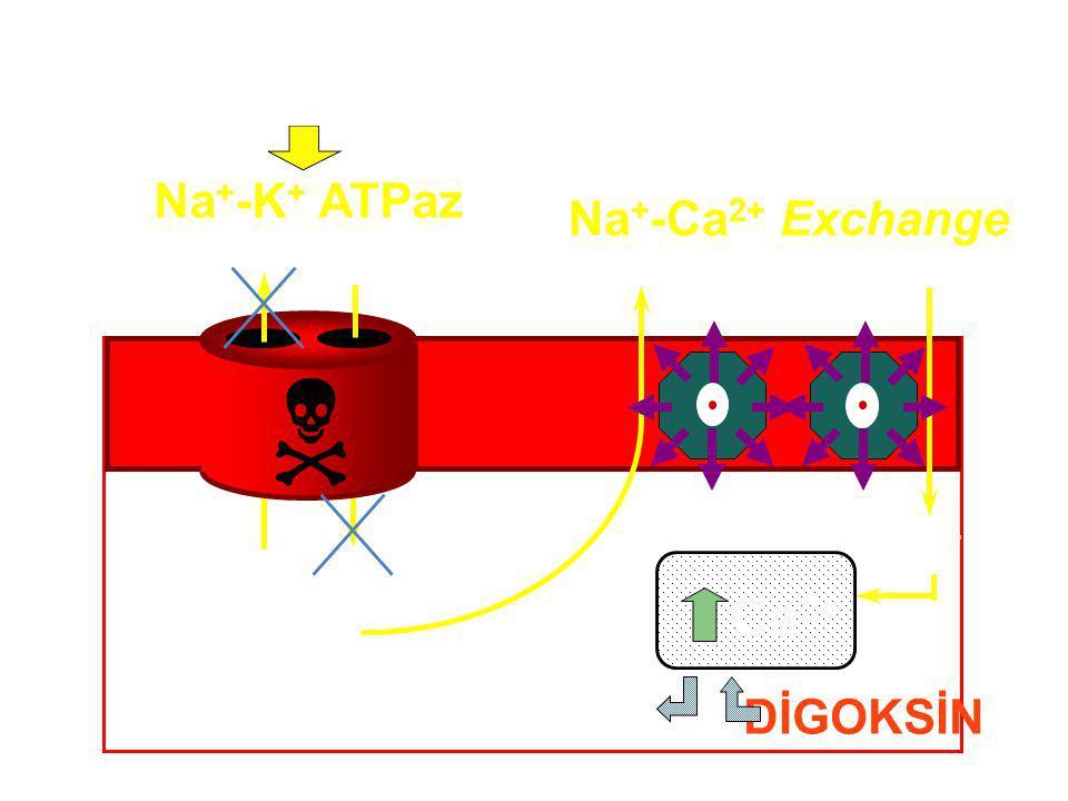  Ca2+ DİGOKSİN Na+-K+ ATPaz Na+-Ca2+ Exchange DİGOKSİN K+ Na+ Ca2+