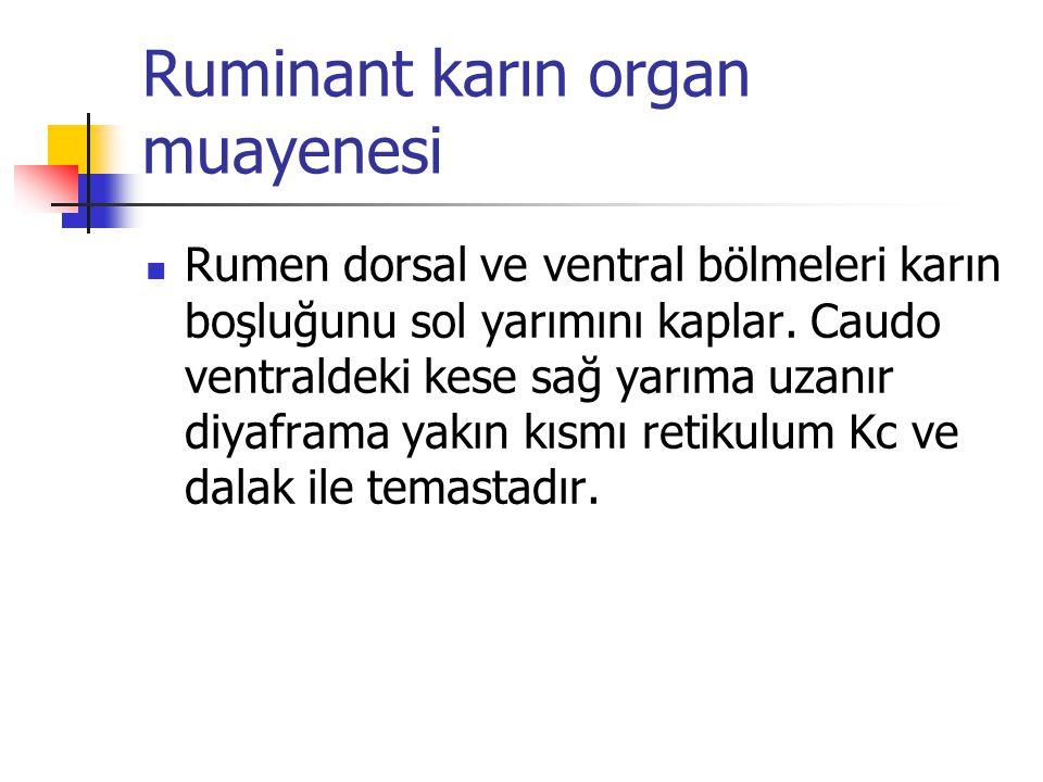 Ruminant karın organ muayenesi