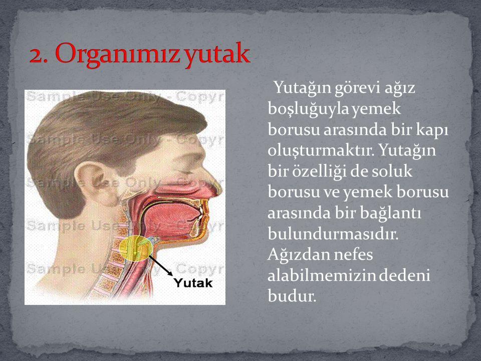2. Organımız yutak